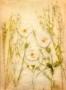 David-Royle_An-English-Rose