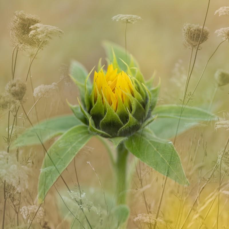Les-Stringer_Sun-Flower