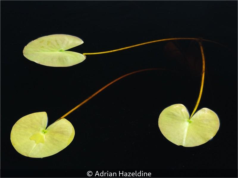 Adrian-Hazeldine_Water-Lillies