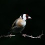 thumbs_Mary-Dolan_Goldfinch