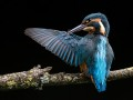 Mary-Dolan_Kingfisher-Preening