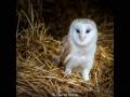 David-Royle_Barn-Owl