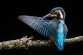 Mary-Dolan_Kingfisher-Preening