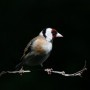 thumbs_Mary-Dolan_Goldfinch.jpg-nggid03340-ngg0dyn-240x180x100-00f0w010c010r110f110r010t010