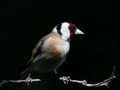 thumbs_Mary-Dolan_Goldfinch.jpg-nggid03340-ngg0dyn-240x180x100-00f0w010c011r110f110r010t010